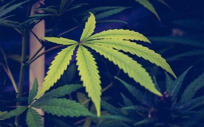 Cannabis CBD-Öl